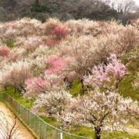 関東で有名な梅の花の名所はどこ?ひと足先に春を感じに出かけよう!の画像