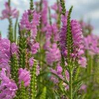 ハナトラノオの花言葉|意味や由来、特徴は?似た花はある?の画像