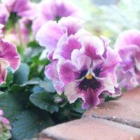 上手に育てれば半年も咲く⁉︎ビオラ・パンジーの花を長く咲かせるコツの画像