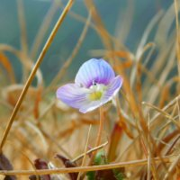 オオイヌノフグリの花言葉|色別の意味や由来は?英語名や和名とは?の画像