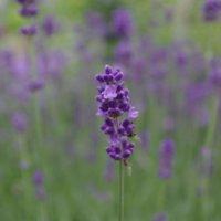 ラベンダーの花言葉|色別の意味や由来は?怖い意味もあるって本当?の画像