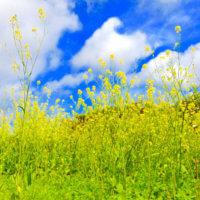 黄色の絶景に包まれる!関東で行ってみたいおすすめの菜の花の名所の画像