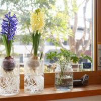 ヒヤシンスの水栽培|始める時期や置き場所は?容器は手作りできる?の画像