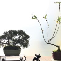 初めての盆栽|作り方や育て方は?の画像