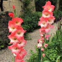 グラジオラスの花言葉|色別の意味や種類、由来は?の画像