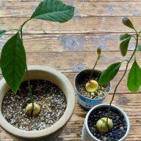 アボカドの育て方|種から栽培する方法は?発芽や水やりのコツは?の画像