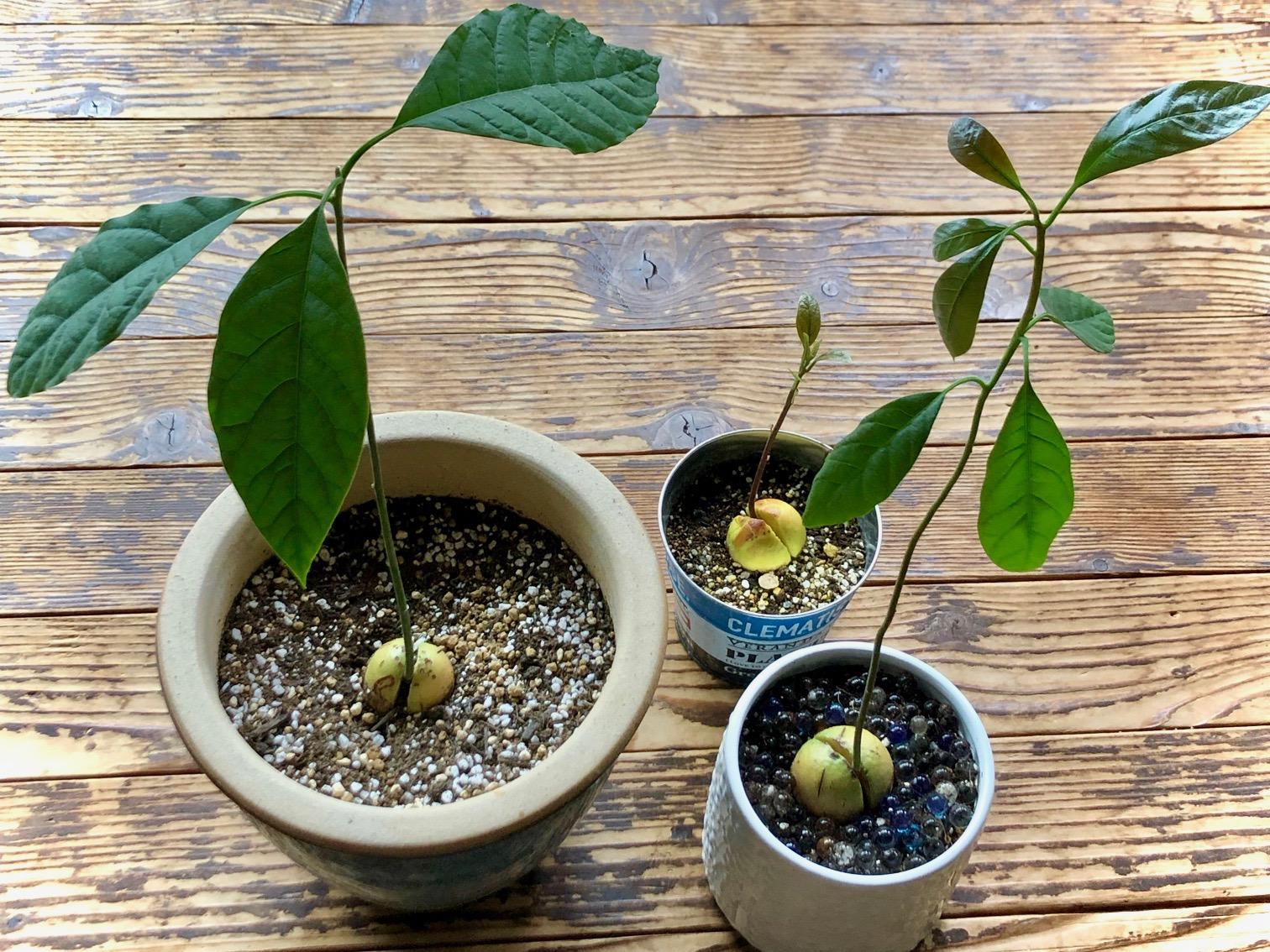 アボカドの育て方|種から栽培する方法!種まきや水やりのコツは?の画像