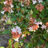アベリアの花言葉|種類や品種、由来は?の画像