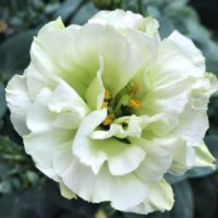 トルコキキョウの花言葉 色別の意味や種類、どんなシーンで贈るの?の画像