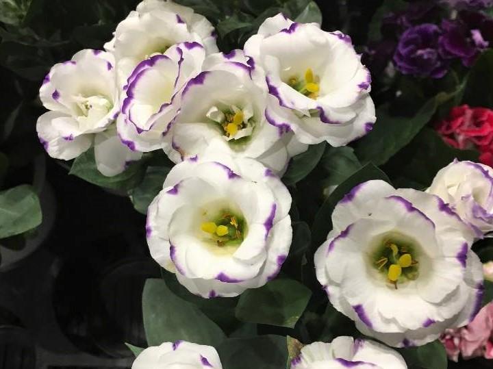 トルコキキョウの育て方|花をきれいに咲かせる栽培のコツとは?の画像