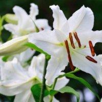カサブランカの花言葉|種類や由来、どんなシーンで贈るのが良い?の画像