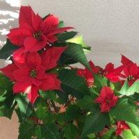 ポインセチアの花言葉 色別の意味や種類、クリスマスに飾る理由は?の画像