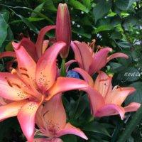 百合(ユリ)の花言葉|色別の意味や種類、怖い意味があるの?の画像
