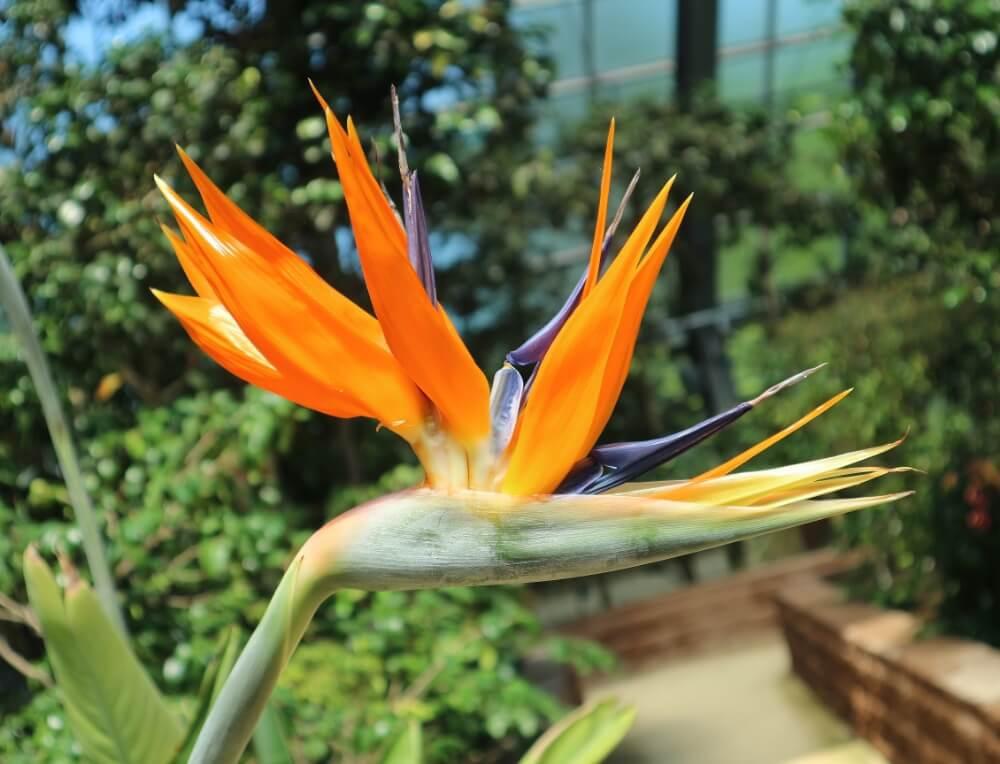 ストレリチア(極楽鳥花)の花言葉|種類や由来、どこに飾るのが良い ...