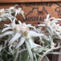 エーデルワイスの花言葉|由来や品種、日本では見られない花なの?の画像