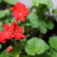 ゼラニウムの花言葉|色別の意味や種類、花の香りは?の画像