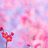 梅(ウメ)の花言葉|花の見頃の時期や香り、実の種類は?の画像