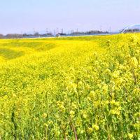 菜の花の花言葉|種類や楽しみ方、黄色い絨毯が広がる名所は?の画像