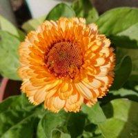 キンセンカ(カレンデュラ)の花言葉|種類や効能、贈るときの注意点は?の画像