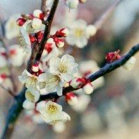 梅の木(ウメ)の育て方|肥料を与える頻度は?つきやすい虫や病気への対策は?の画像
