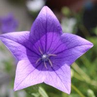 桔梗(キキョウ)の花言葉|色別の意味や由来、日本で愛されているわけは?の画像