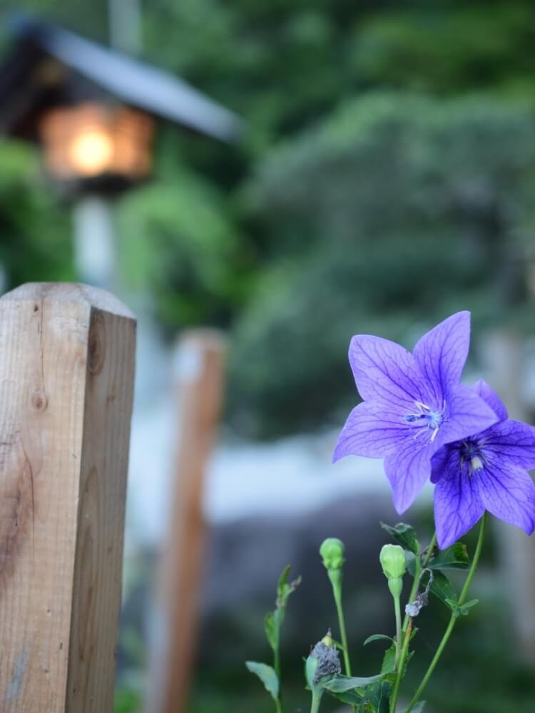 桔梗 の 花 言葉