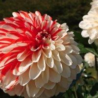 ダリアの花言葉|色別の意味や種類、怖い意味もあるって本当?の画像