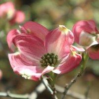 ハナミズキの花言葉|英語での意味や、由来のご紹介の画像