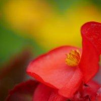 ベゴニアの花言葉|赤色、ピンク色、黄色など色別の意味や種類のご紹介の画像