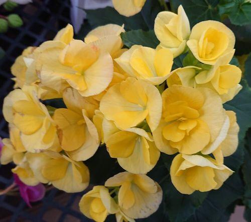 言葉 ベゴニア 花 「ベゴニア」の花言葉とは?意味や使い方をご紹介
