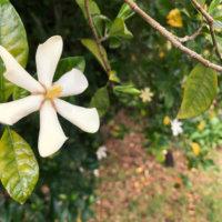 クチナシ(ガーデニア)の花言葉|花の香り、実の効能は?の画像