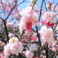 桃の花の花言葉|由来や言い伝え、実にも花言葉があるの?の画像