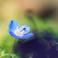 オオイヌノフグリの育て方|水やりや肥料がいらないって本当?の画像