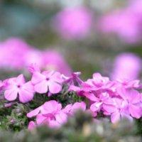 芝桜(シバザクラ)の花言葉|由来や種類、名所はどこ?の画像