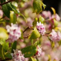 沈丁花(ジンチョウゲ)の花言葉|種類や特徴、香りの楽しみ方の画像