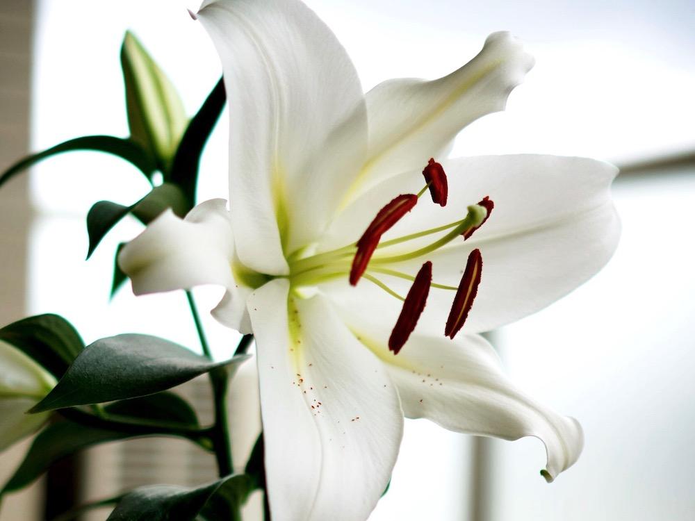 カサブランカの育て方|球根の植え方は?大きな花を咲かせるコツは?の画像