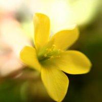 カタバミの花言葉|種類や特徴、対策についての画像