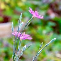 ナデシコ(撫子)の花言葉|色別の意味や花の種類、見頃の季節は?の画像