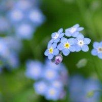 勿忘草(ワスレナグサ)の花言葉|由来や種類、花の特徴は?の画像