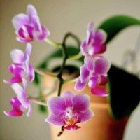 胡蝶蘭の植え替え|水苔やバークでの方法や時期、その後の手入れは?の画像