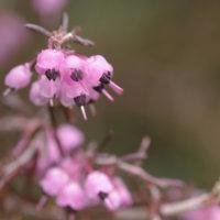 エリカの花言葉|種類別の意味や花の特徴、見頃の季節は?の画像