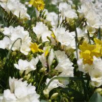 フリージアの花言葉|色別の意味や種類、花色によって香りが違う?の画像