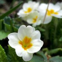 プリムラの花言葉|種類別の意味は?品種はどれくらいある?の画像