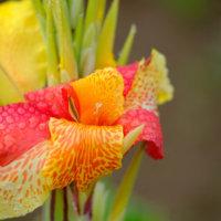 カンナの花言葉|由来や種類、花の見頃の時期は?の画像