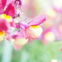 キンギョソウ(金魚草)の花言葉|種類や似ている花、飾り方は?の画像