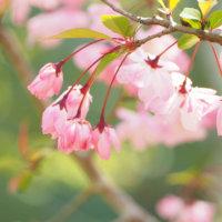 ハナカイドウ(花海棠)の花言葉|種類や特徴、桜との違いは?の画像