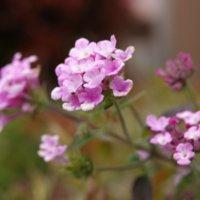 バーベナの花言葉|色別の意味や種類、花の香りは?の画像