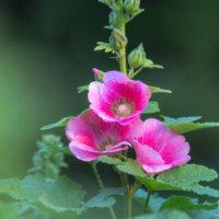 タチアオイ(立葵)の花言葉|色別の意味や由来は?女の子の名前に人気のわけは?の画像