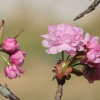 桜(サクラ)の花言葉|意味が怖い、悲しいといわれる由来は?の画像