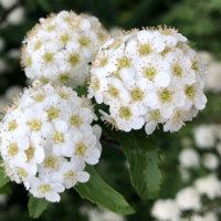 コデマリ(小手鞠)の花言葉|種類や特徴、見頃の季節は?の画像